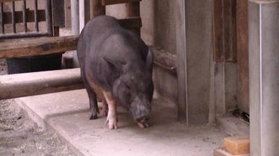 豚.JPGのサムネール画像